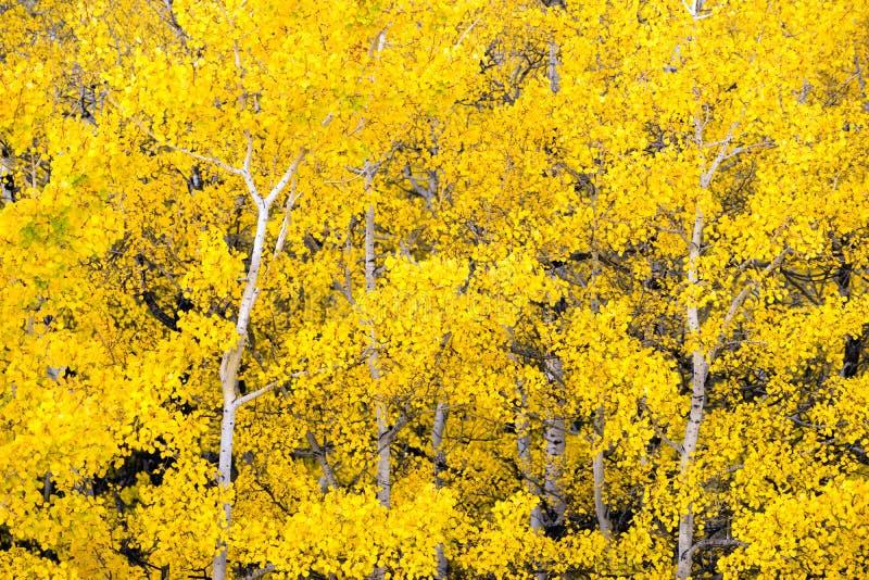 Hojas blancas de Aspen Trees Forest Fall Colors que cambian otoño imágenes de archivo libres de regalías