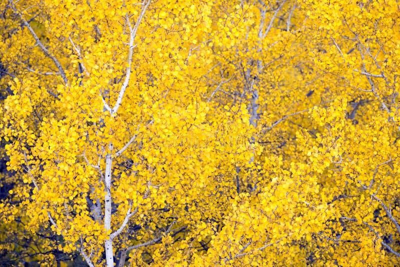 Hojas blancas de Aspen Trees Forest Fall Colors que cambian otoño fotografía de archivo libre de regalías