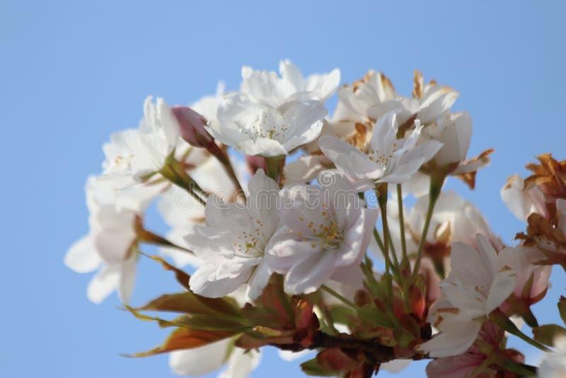 Hojas blancas y rosadas del flor del Prunus en árboles con el cielo azul como fondo fotografía de archivo libre de regalías