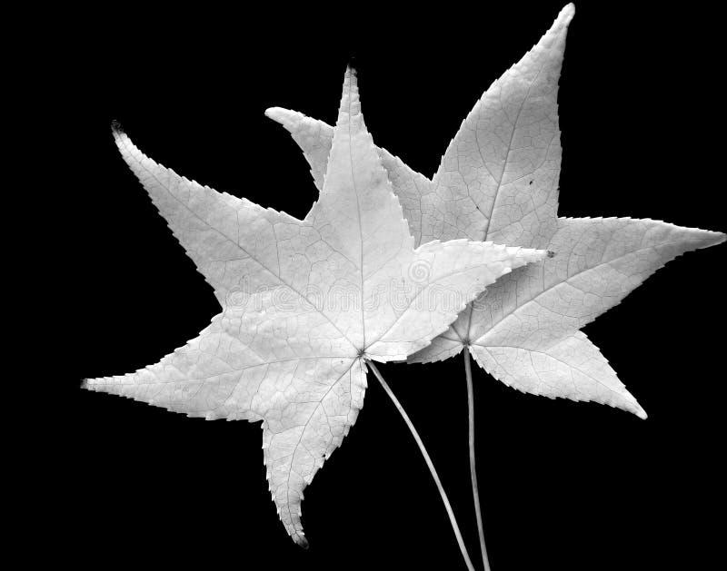 Hojas blancos y negros fotografía de archivo libre de regalías