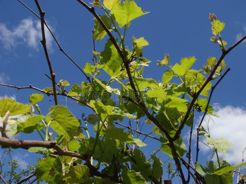 Hojas blandas verdes jovenes de uvas en un fondo del cielo azul en primavera fotos de archivo libres de regalías