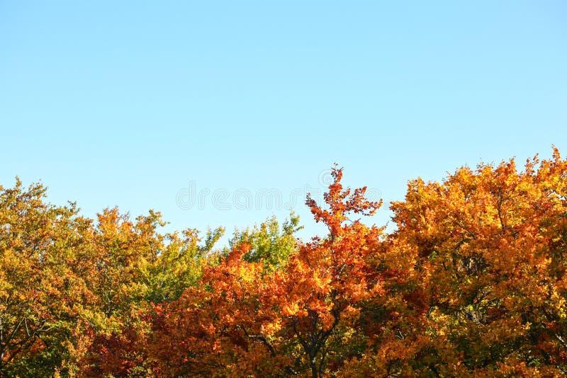Hojas brillantemente coloreadas en los tops del árbol del otoño, cielo azul sobre - el espacio para el texto Fondo de la caída imagen de archivo libre de regalías