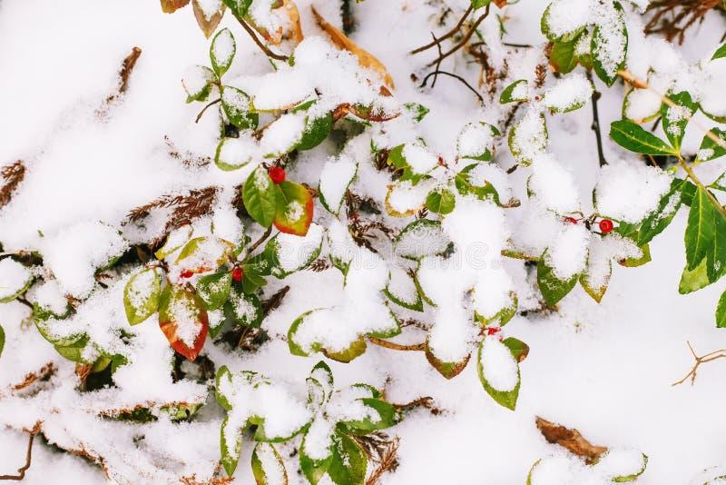 Hojas brillantes de la caída en nieve imagenes de archivo