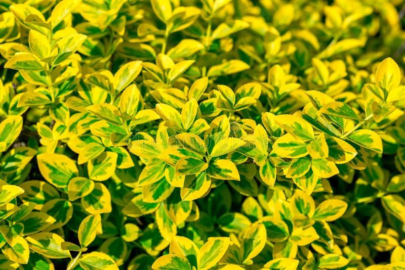 Hojas brillantes del verde amarillo del fondo esmeralda de Gold' del ` del ` n del fortunei' del Euonymus Foco selectivo fotos de archivo