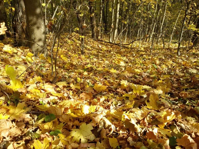 Hojas caidas bajo en el bosque del otoño fotografía de archivo