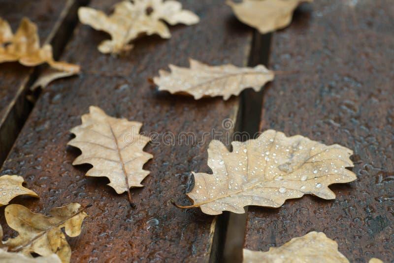 Hojas caidas otoño del roble en macro del banco imagen de archivo
