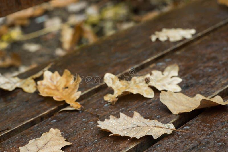 Hojas caidas otoño del roble en macro del banco foto de archivo libre de regalías