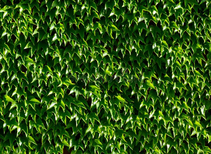 Hojas cerosas verdes claras de la hiedra de Boston con follaje denso con el brillo blanco fotos de archivo libres de regalías