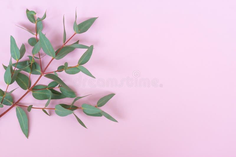 Hojas cinerea y ramas del eucalipto verde del dólar de plata en fondo rosado en colores pastel Composici?n floral foto de archivo libre de regalías