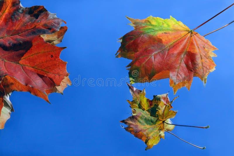 Hojas coloreadas del otoño imágenes de archivo libres de regalías