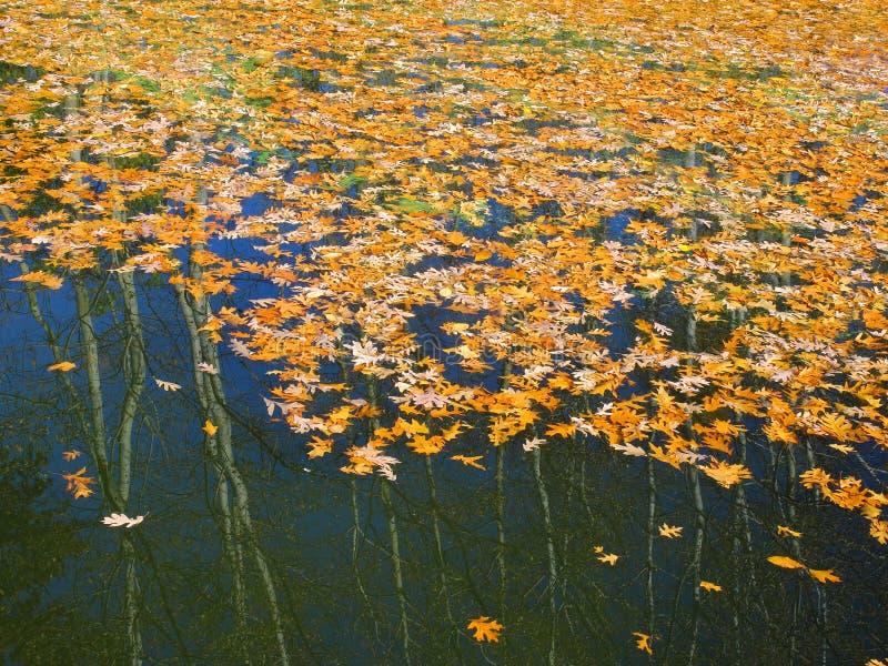 Hojas coloreadas del roble en el agua imagen de archivo libre de regalías