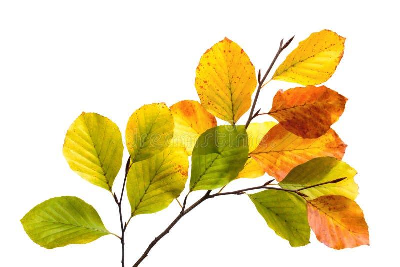 Hojas coloridas del árbol de haya aisladas en blanco imagenes de archivo