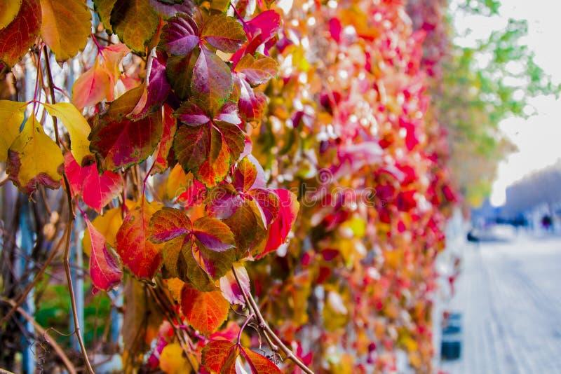 Hojas coloridas del árbol en Autumn On The Roadside imagen de archivo