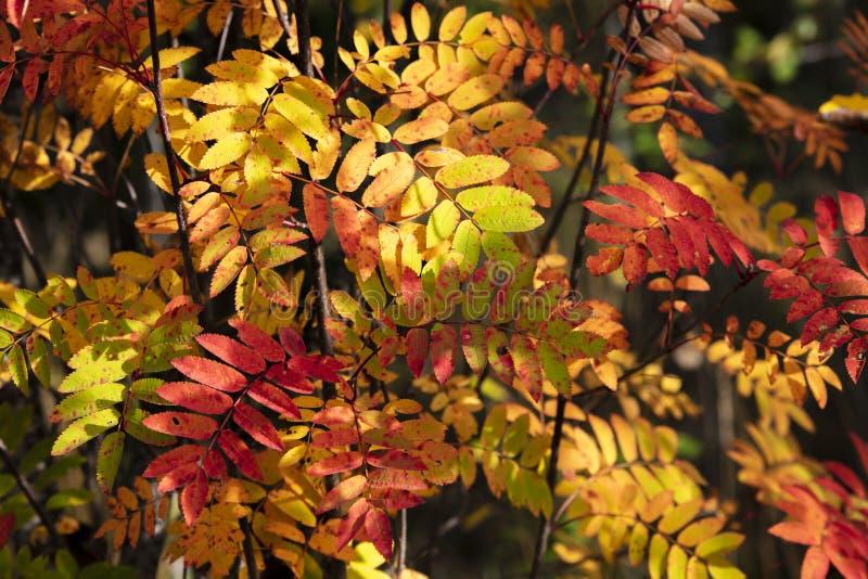 Hojas coloridas del árbol en Finlandia Él otoño del ` s foto de archivo