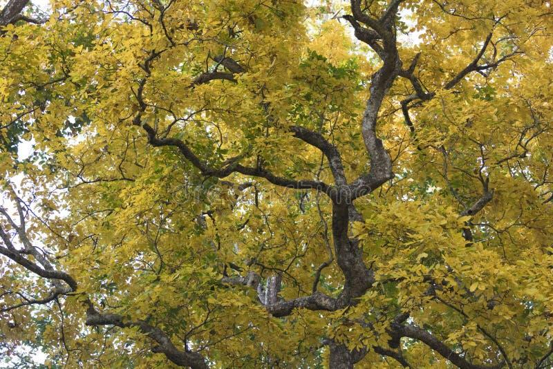 Hojas coloridas hermosas de Autumn Leaves, amarillas y verdes fotografía de archivo