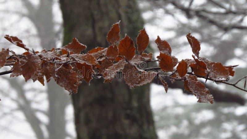 Hojas con la nieve en un invierno del árbol, Fussen, Alemania foto de archivo libre de regalías
