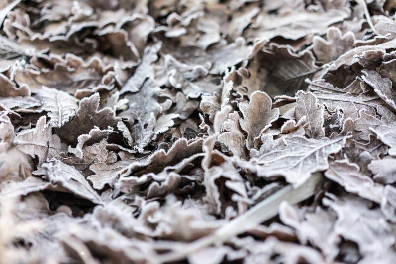 Hojas congeladas cubiertas por los cristales de hielo Backgro del invierno y del otoño fotografía de archivo