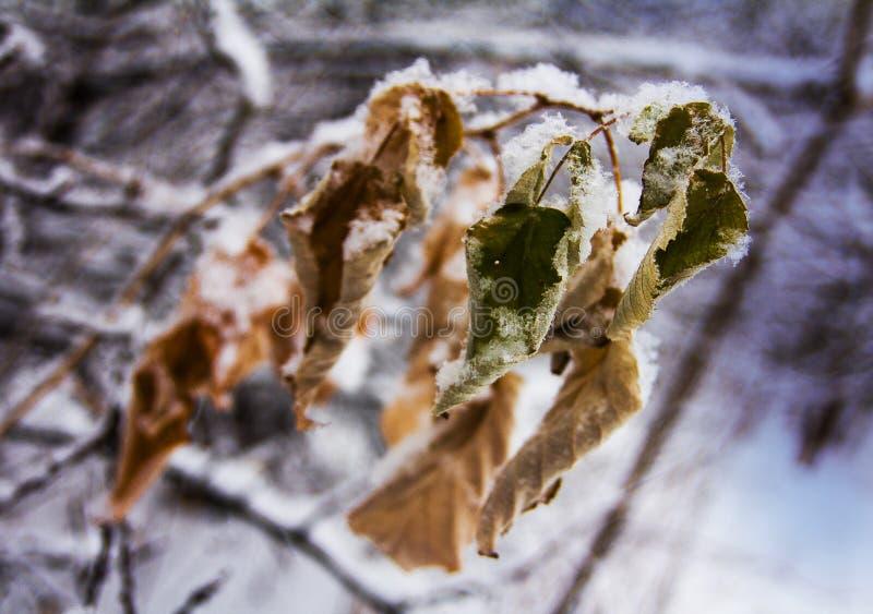Hojas congeladas descoloradas cubiertas con nieve fresca mullida fotos de archivo