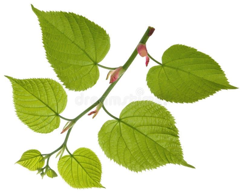 Hojas crecientes verdes frescas del árbol de tilo en la rama aislada en el fondo blanco fotos de archivo