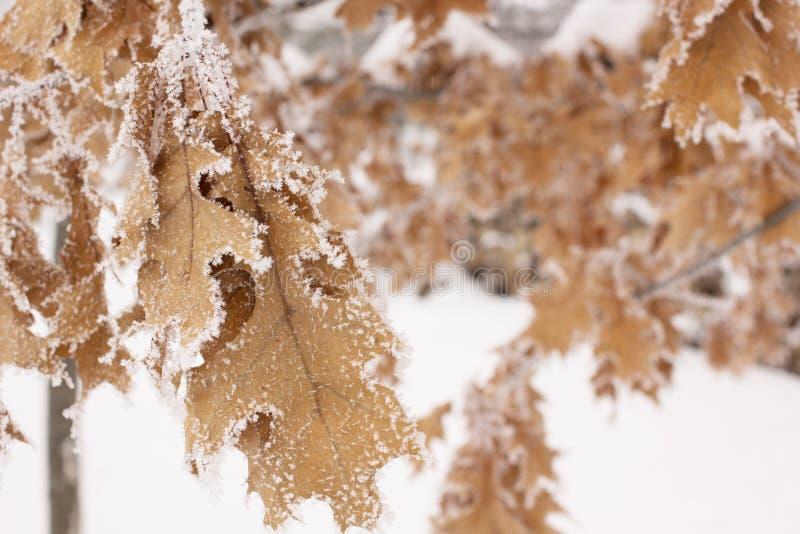 Hojas cubiertas en nieve escarchada imagenes de archivo