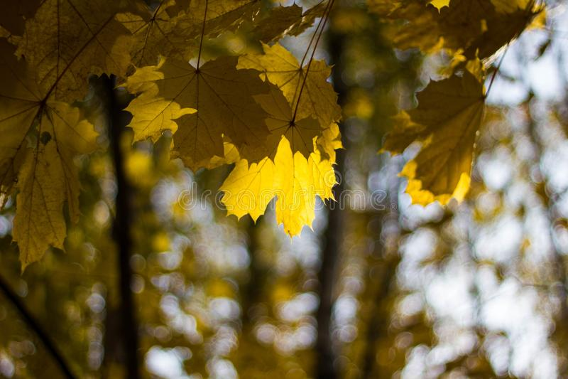 Hojas de arce amarillas coloridas en el árbol en otoño Arce de la corona en un fondo de los rayos del sol en otoño Primer del fol fotos de archivo