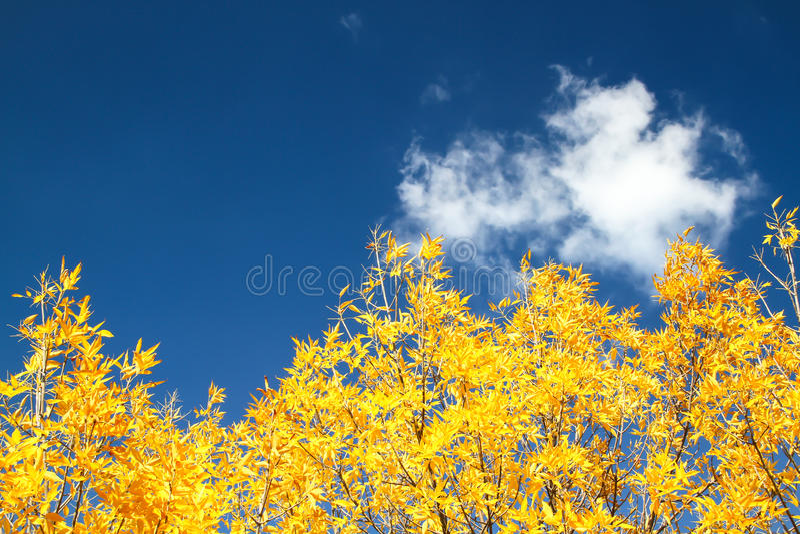 Hojas de arce amarillas de la caída en el cielo azul imágenes de archivo libres de regalías
