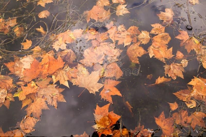 Hojas de arce amarillas del otoño que caen en el agua, foco suave fotos de archivo libres de regalías