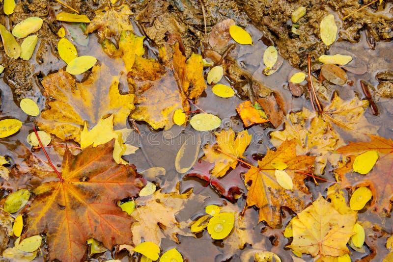 Hojas de arce amarillas del otoño que se descomponen en un charco fotos de archivo