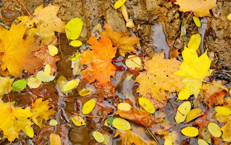 Hojas de arce amarillas del otoño que se descomponen en un charco imagen de archivo libre de regalías