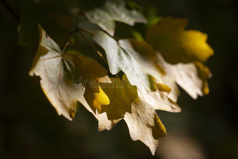 Hojas de arce amarillas, fondo natural otoñal, foco selectivo imagen de archivo