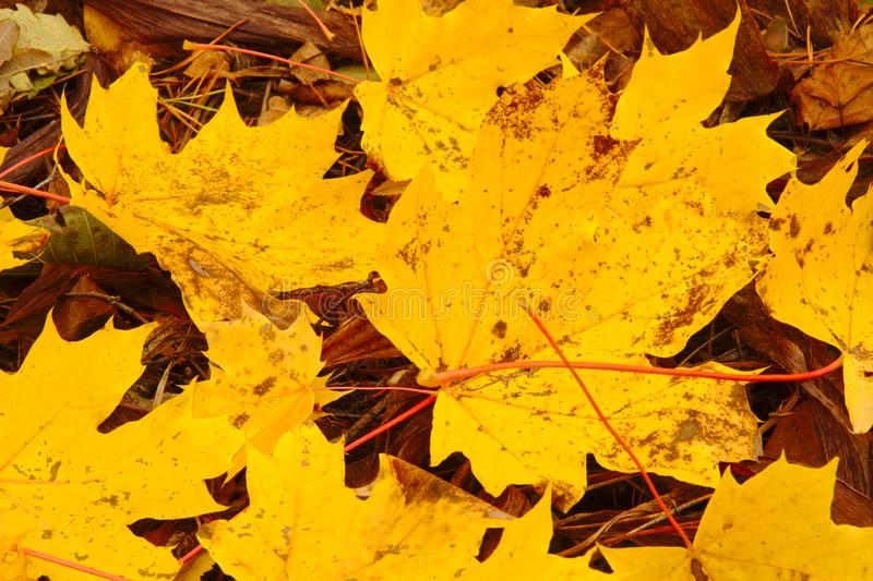 Hojas de arce amarillas hermosas imagen de archivo