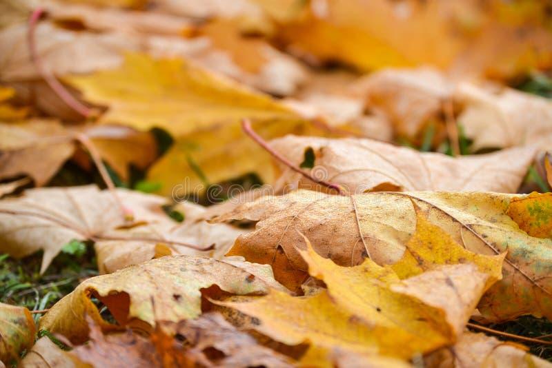 Hojas de arce amarillas por la mañana lluviosa Descensos de rocío en las hojas Fondo del otoño foto de archivo