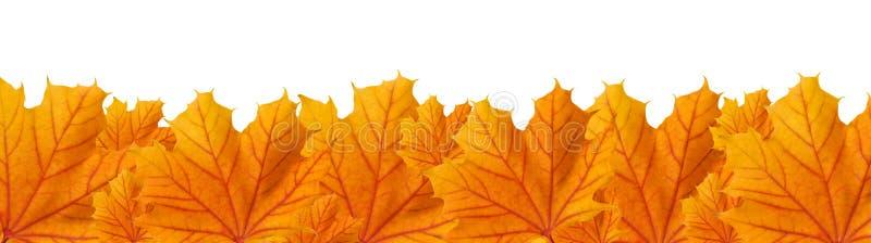 Hojas de arce anaranjadas del otoño, visión panorámica imagen de archivo libre de regalías