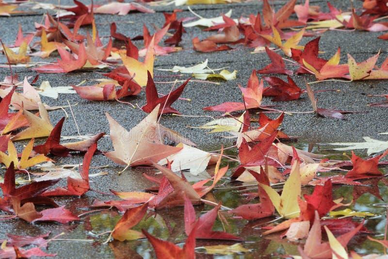 Hojas de arce caidas en colores del otoño imágenes de archivo libres de regalías