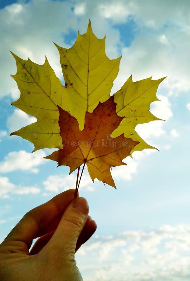 Hojas de arce canadienses contra el cielo fotografía de archivo
