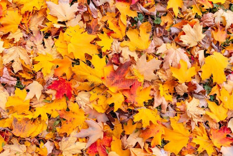 Hojas de arce coloridas en la tierra en otoño fotos de archivo