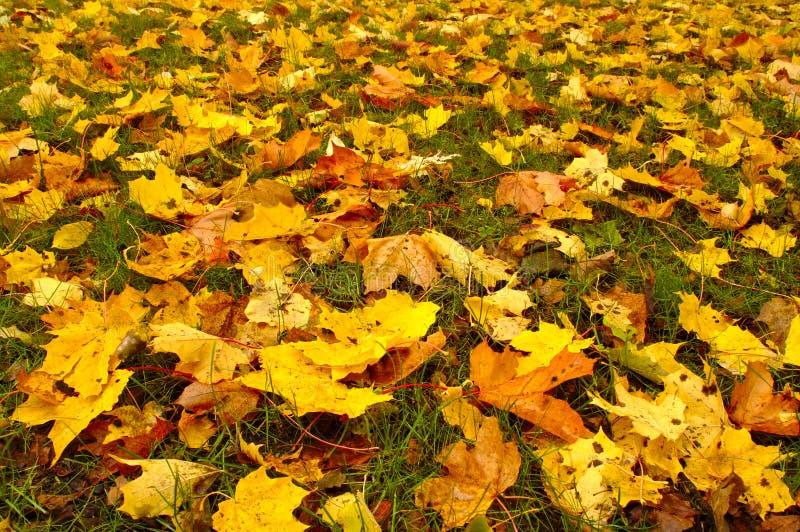 Hojas de arce coloridas en otoño fotos de archivo libres de regalías