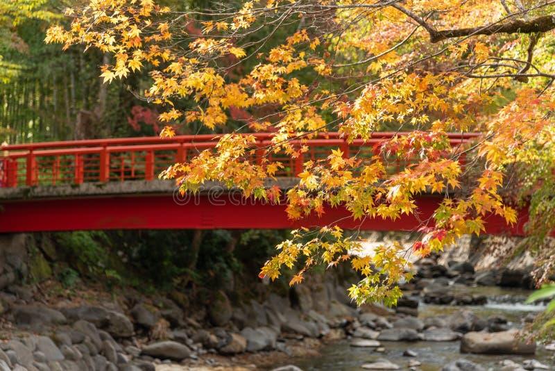 Hojas de arce coloridas en otoño con fondo de puente de madera roja sobre un pequeño arroyo fotografía de archivo libre de regalías