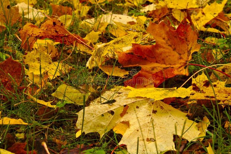 Hojas de arce coloridas que cubren la tierra en otoño foto de archivo libre de regalías