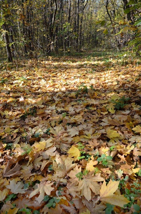 Hojas de arce del otoño en una trayectoria de bosque en el fondo salvaje, abstracto imagen de archivo