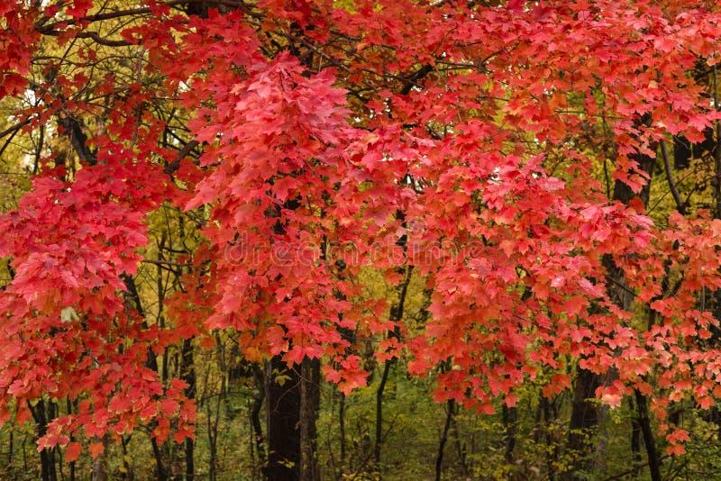 Hojas de arce en color completo del otoño fotografía de archivo