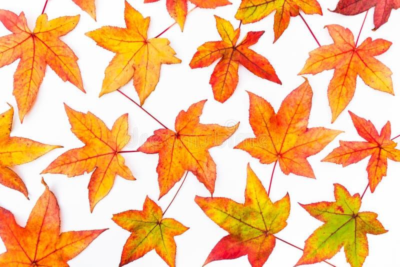 Hojas de arce en colores del otoño foto de archivo