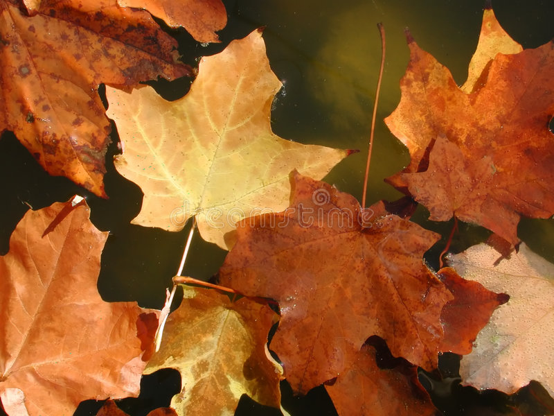 Hojas de arce en otoño foto de archivo libre de regalías