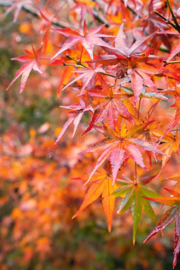 Hojas de arce hermosas en día soleado del otoño en primero plano y fondo borroso en Kyushu, Japón Ningunas personas, cierre para  imagenes de archivo