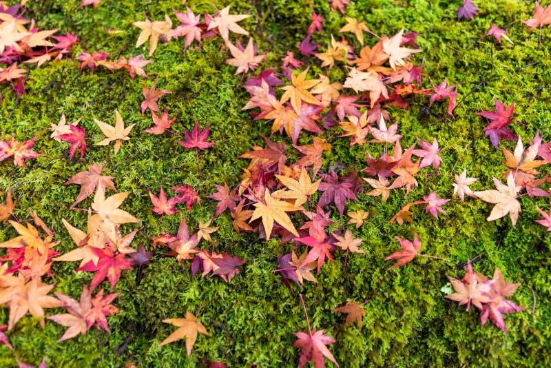 Hojas de arce japonesas coloridas en musgo verde en bosque del otoño imágenes de archivo libres de regalías