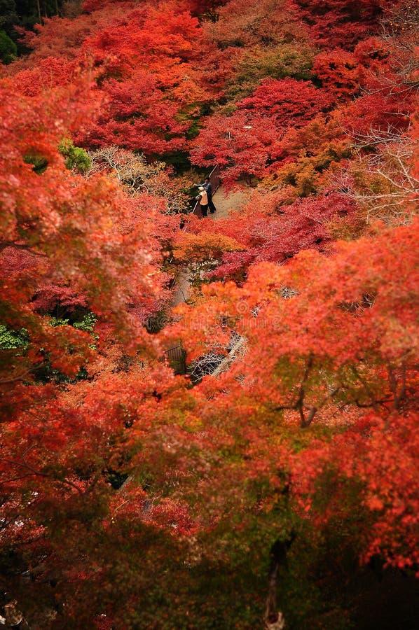 Hojas de arce japonesas en otoño fotos de archivo