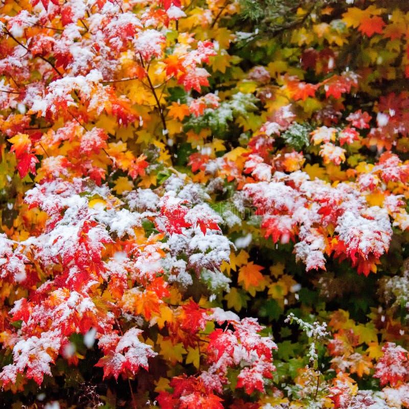 Hojas de arce de la vid en otoño con nieve temprana en ellos imagen de archivo