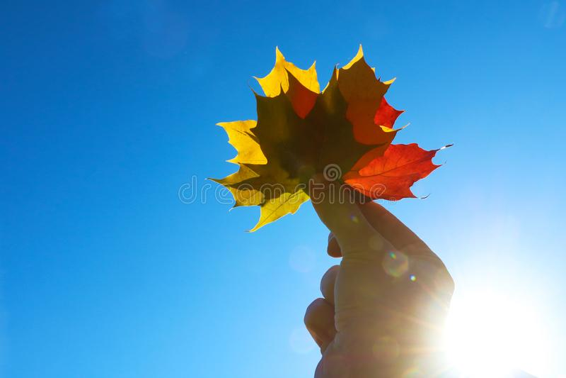 Hojas de arce multicoloras a mano en la estación del otoño foto de archivo libre de regalías