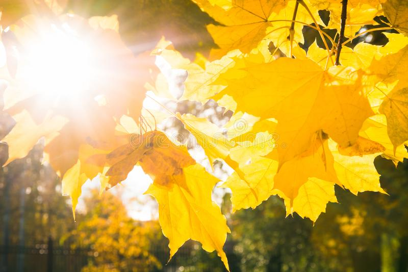 Hojas de arce de oro del otoño en parque como fondo Foco selectivo Modelo de la caída fotos de archivo