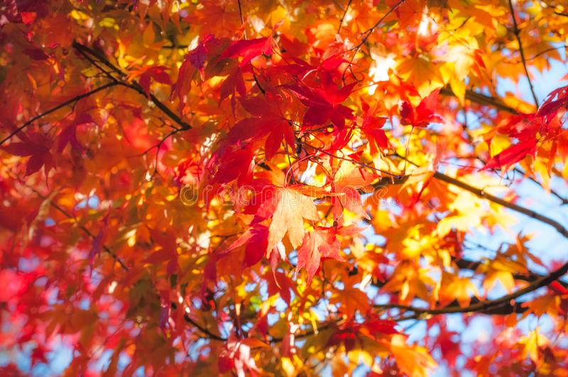 Hojas de arce de oro de la hora en otoño en Fugikawaguchiko, Japón imagen de archivo